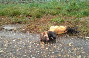 """A """"road-kill""""-jelenség sokkal pusztítóbb Romániában, mint gondolnánk"""