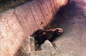 Újabb medvét ütöttek el Maros megyében