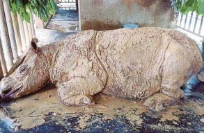 Elpusztult Iman: nincsenek többé szumátrai orrszarvúk Malajziában
