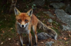 Elmaradt a háromszéki mészárlás: a sertéspestis sem elég ok arra, hogy a védett ragadozókat kiírtsák