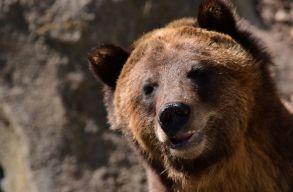Nem szüntették meg a medvék szigorúan védett státusát, de karácsonyig kifizetik a medvekárokat