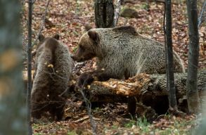 Mit jelentene a megelõzõ kilövési kvóta újbóli bevezetése a medvéknél?