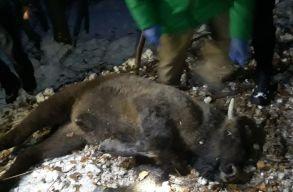 Fiatal bölény borjú lépett hurokba a Szárkõ-hegység környékén