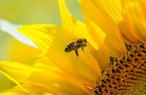 Kiakadtak a méhészekre a napraforgó-termesztõk a vegyszerezés részleges tiltása miatt