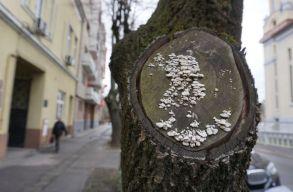 """Ismét háborognak a szatmáriak a facsonkolás, azaz a """"druzsbás metszés"""" miatt"""