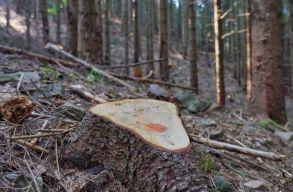 Százezer köbméternyi fát loptak el az elmúlt 8 évben Máramarossziget közelében