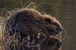 Kis állat, nagy hatás: a hód visszatelepítésének elõnyei és nehézségei
