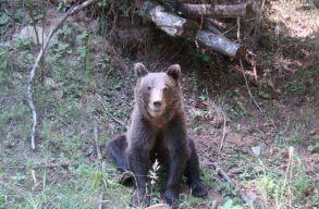 Frissítve: kilõtték a Csíkszeredába folyton visszalátogató medvét