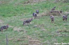 Ritka felvételek: farkasfalkát filmeztek a neamti Tarkõ-hegységben