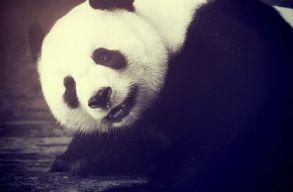 Egy kínai állatkertben hunyt el a világ legidõsebb óriáspandája, Hszinhszing