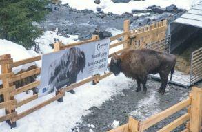 Újabb bölények érkeztek a Fogarasi-havasokba