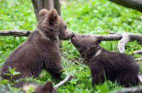 """A szakértõk szerint nem létezik a """"medvebocsok piaca"""". De akkor miért szedik ki a mackókat az anyjuk barlangjából?"""