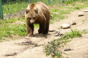 Befogják a Marosvásárhely utcáin nappal bóklászó medvét, ígéri Soós Zoltán