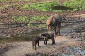 Könyörtelenek a számok: kihalás fenyegeti az erdei és az afrikai elefántokat is