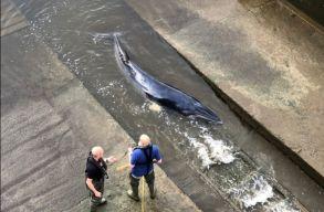 Sérült bálnaborjú sodródott a londoni Temze betonpartjára, többszáz kilométerre kerülve természetes élõhelyétõl