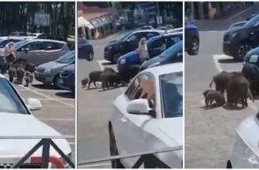 Erdélyben medvék sétálnak az utcán, Rómában vaddisznócsalád látogatott meg egy bevásárlóközpontot