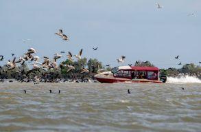 Képeken lehet látni, hogyan hajtanak a turistahajók a pelikánok közé a Duna-deltánál