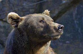 A trófeavadászat jelentheti az egyetlen esélyt a romániai medveállomány megmaradására?