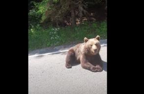 Ozsdolához közel, az országúton napozott a medve, látszólag az átutazók sem zavarták