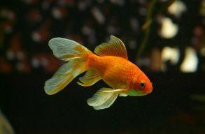 Aranyhalakat engedtek szabadon a minnesotai tavakban, most mindent elpusztíthatnak