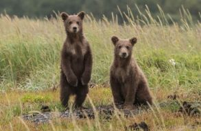 Agent Green: Több száz ártatlan medve azonnali kivégzéséhez vezet az új kormányhatározat