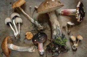 """Hallucinogén gombák – mit tudunk a Kárpát-medence """"varázsgombáiról""""?"""