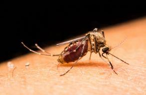 Ciki, de nem para a Zika, nem kell nagyon f�lni t�le