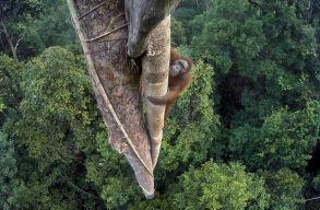 F�g�t vad�sz� orangut�nr�l k�sz�tett k�p lett az �v term�szetfot�ja