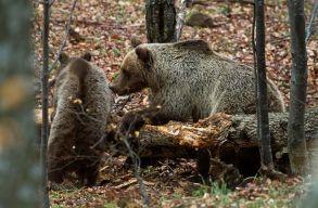 Mi mûködik jól ott, ahol van medve, de még sincs medve-ember konfliktus?