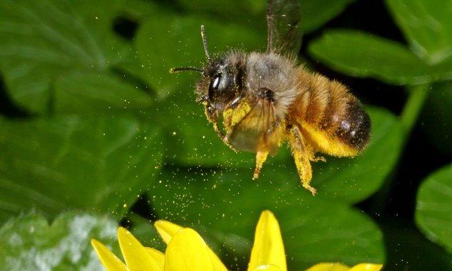Rejtélyes beporzók: a magányos méhek és lakóhelyeik I.